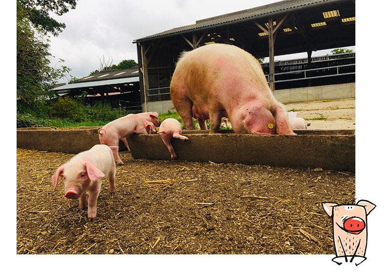 Nous élevons aussi des races rares de cochons : visite possible de la ferme Le gros chêne à Betton